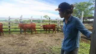 Better Livestock Bring New Opportunities for Farmers in Samoa